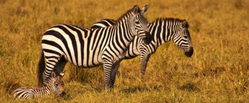 Африканська зебра