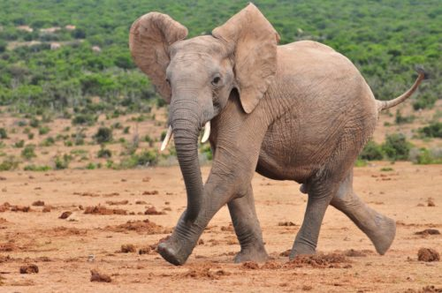 Африканський слон