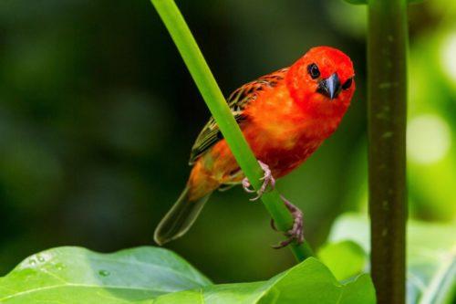 Яскраво-червоний кардинал
