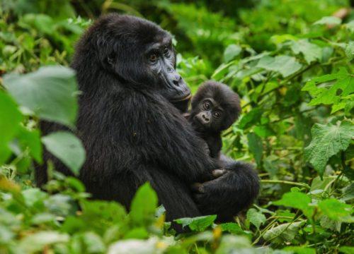 Гірська горила