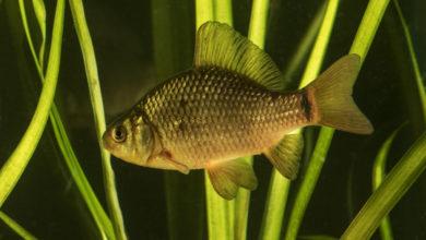 Риби-соні