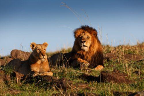 Африканський лев