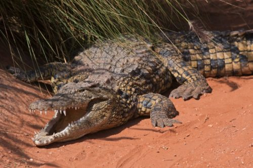 Нільський крокодил